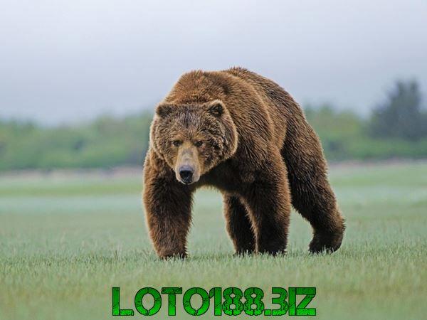 Mộng thấy gấu rượt đuổi có sao không?