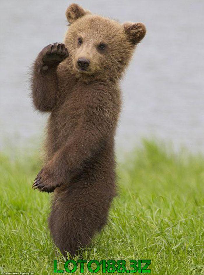 Chiêm bao gấu nhảy múa là điềm báo gì?